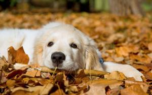 Chiot-Golden-Retriever-dans-les-feuilles