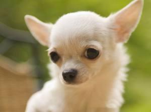 cute-chihuahua-puppy